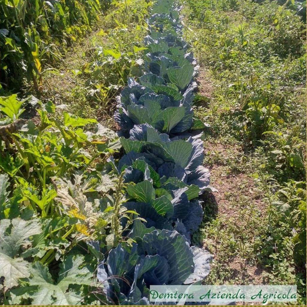 Demetra azienda agricola le verze cavoli per l'inverno