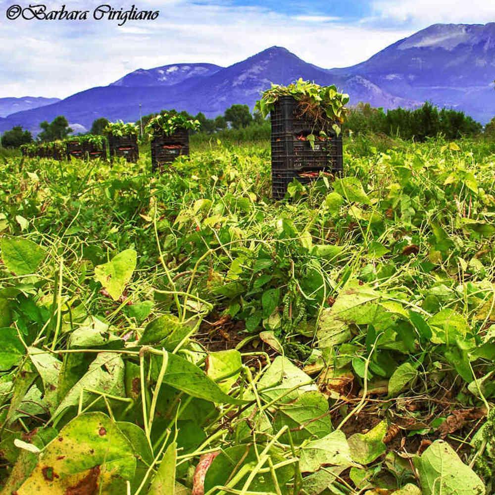 Fagioli di Sarconi Azienda agricola BIO Lauria Maria