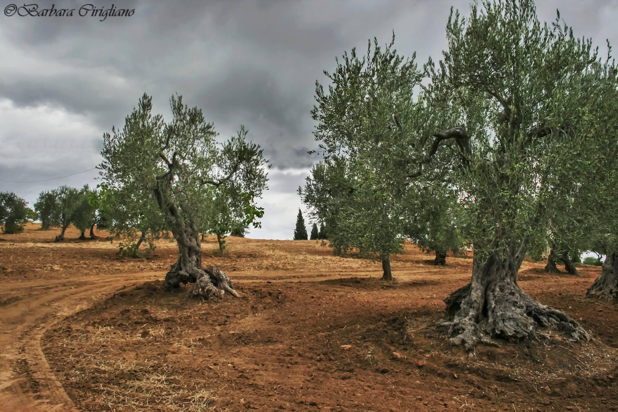 Ulivo e olio extravergine di oliva emblema della dieta mediterranea