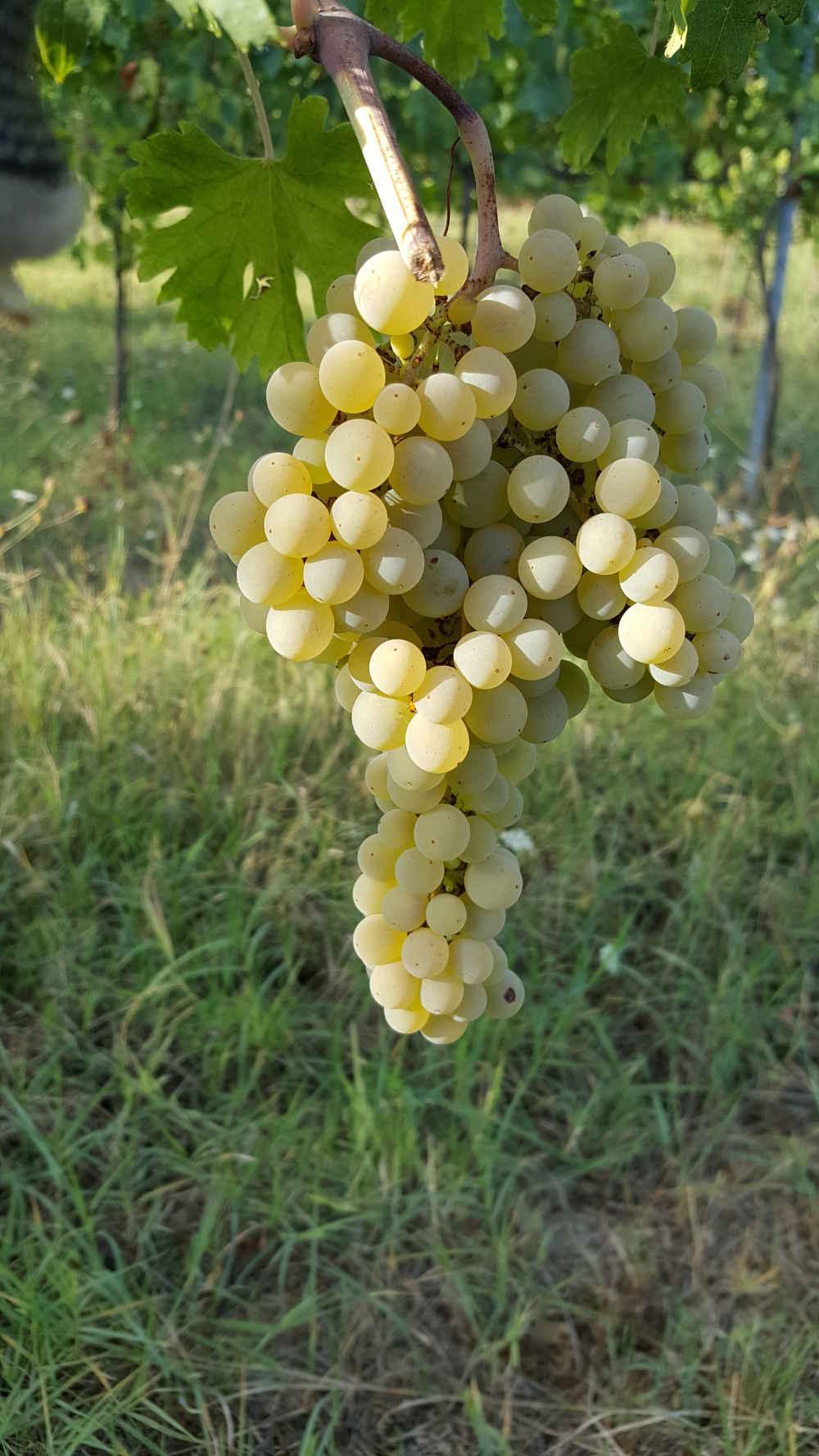 Vino bianco uva bianca