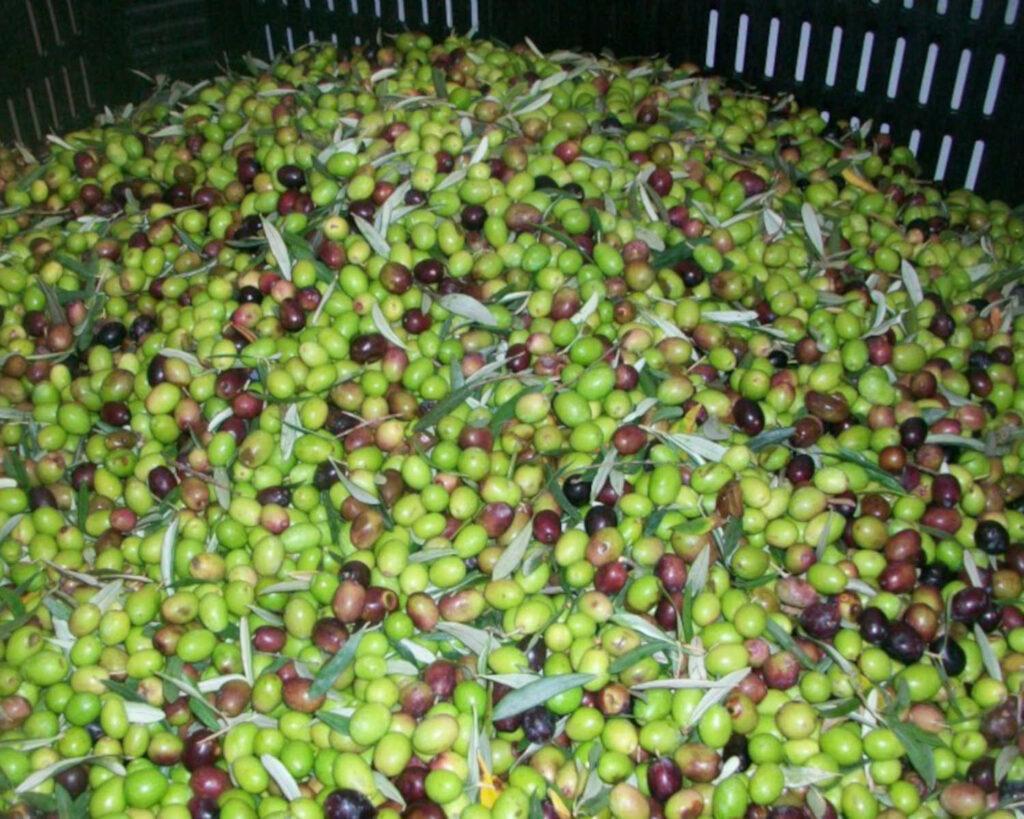 Frantoio CLAPS Olive maiatiche